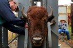 Veterinarian Dr. Travis Hawkins draws blood from a bison as it sits in a squeeze chute. Of the animals processed during the roundup, 20 will return to Illinois to form a new herd at the Nachusa Grasslands.