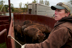 Emily Hohman, the western Iowa land steward for The Nature Conservancy, at right, tries to move a group of bison though a sweep tub onto a truck bound for the Nachusa Grasslands.