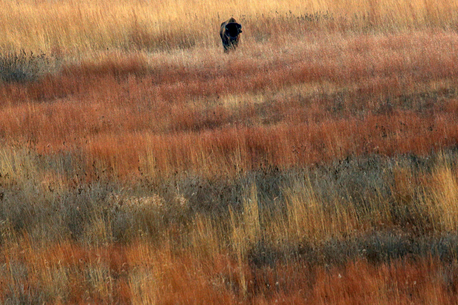 A lone bison stood among the native grasses as he led the herd of about thirty animals into the corrals in the late evening at the Nachusa Grasslands.
