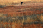 A lone bison stands among the native grasses as he leads the herd of about thirty animals into the corrals in the late evening at the Nachusa Grasslands.