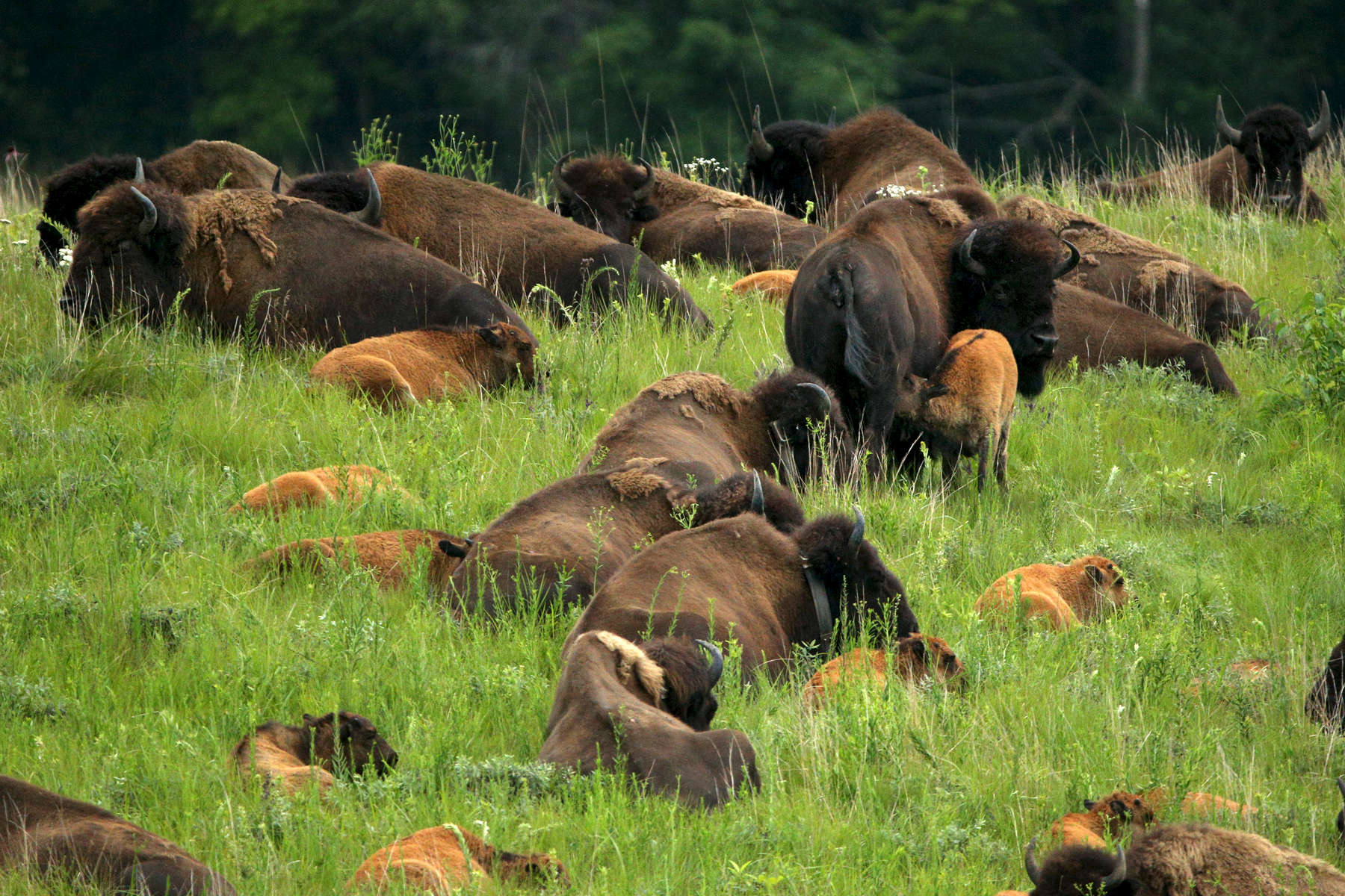 A bison cow nurses her calf as they stand with the herd in the tall grass at the Nachusa Grasslands. More than 10 bison calves were born in the herd's first year in Illinois.