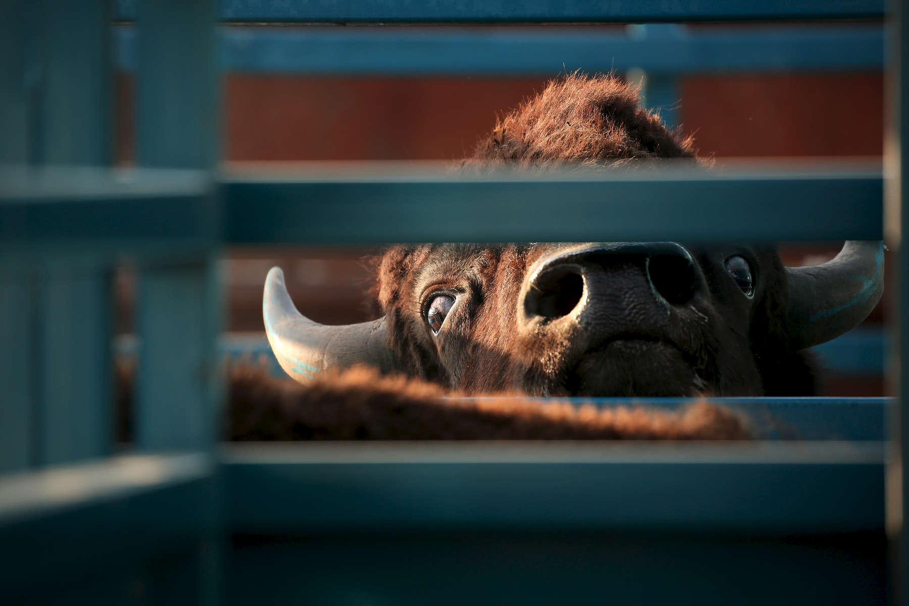 A bison peers out from the corrals during the first Nachusa bison roundup, roughly one year after the animals first came to Illinois.