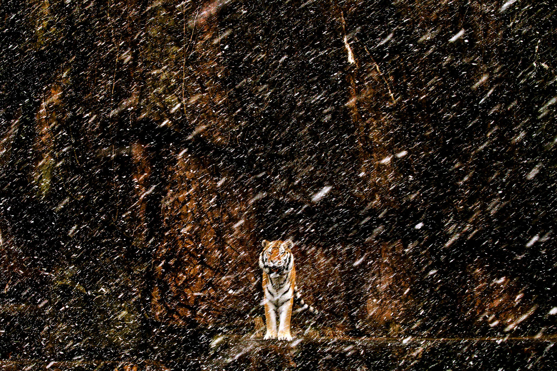 Pavel, an 8-year-old Amur tiger, watches a sudden snow storm from his enclosure at the Lincoln Park Zoo in Chicago.