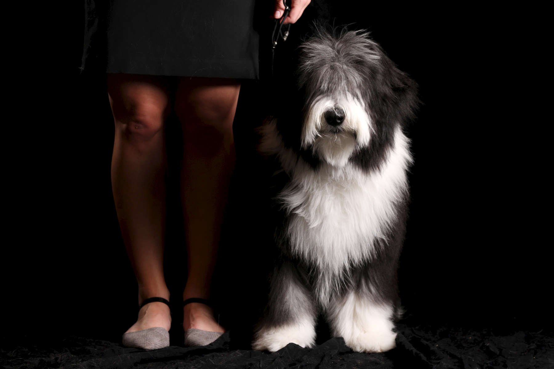 Robby, a 6-month-old bearded collie, shown by Abbie Morrie