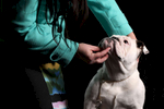 Meraki, a 7-month-old show bulldog in training, shown by Sandra Fulton-Cooper
