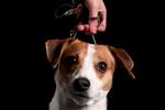 Moxie, a 3-year-old Danish-Swedish Farmdog, shown by Carey Segebart