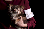 Sunny, a 7-year-old Chihuahua, shown by Samantha Van Buren