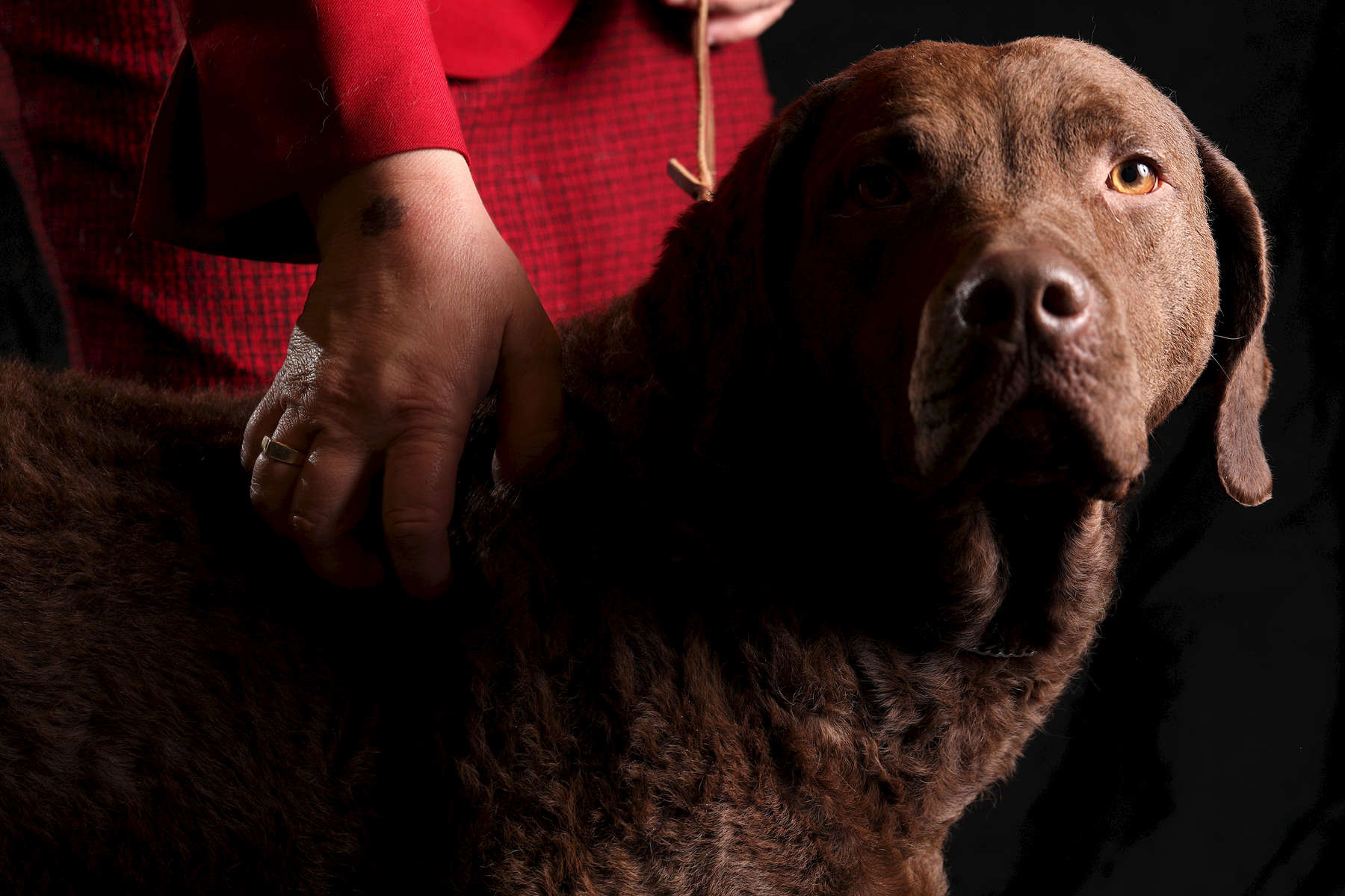 Monday, a 4-year-old Chesapeake Bay Retriever, shown by Meredith Hinnenkamp