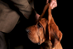 Karma, a 3-year-old bloodhound, shown by John Benoit