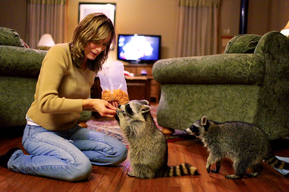 Robin Swift treats Loverboy, center, and Blackie with cheese crackers during the two's nightly visit to the Swift's home in Tonica, Ill. Swift raised the two raccoons from infancy after they were abandoned by their mother. Despite living on their own in the wild, the two come back nightly to visit with the Swifts.