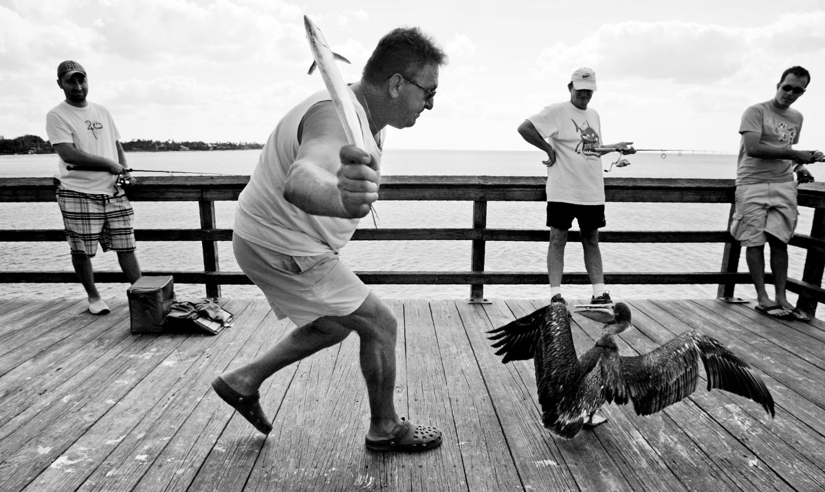 John Didonato swings a fish as he chases away a brown pelican who tried to steal his catch during an afternoon fishing trip to the Naples Pier in Naples, Fla.