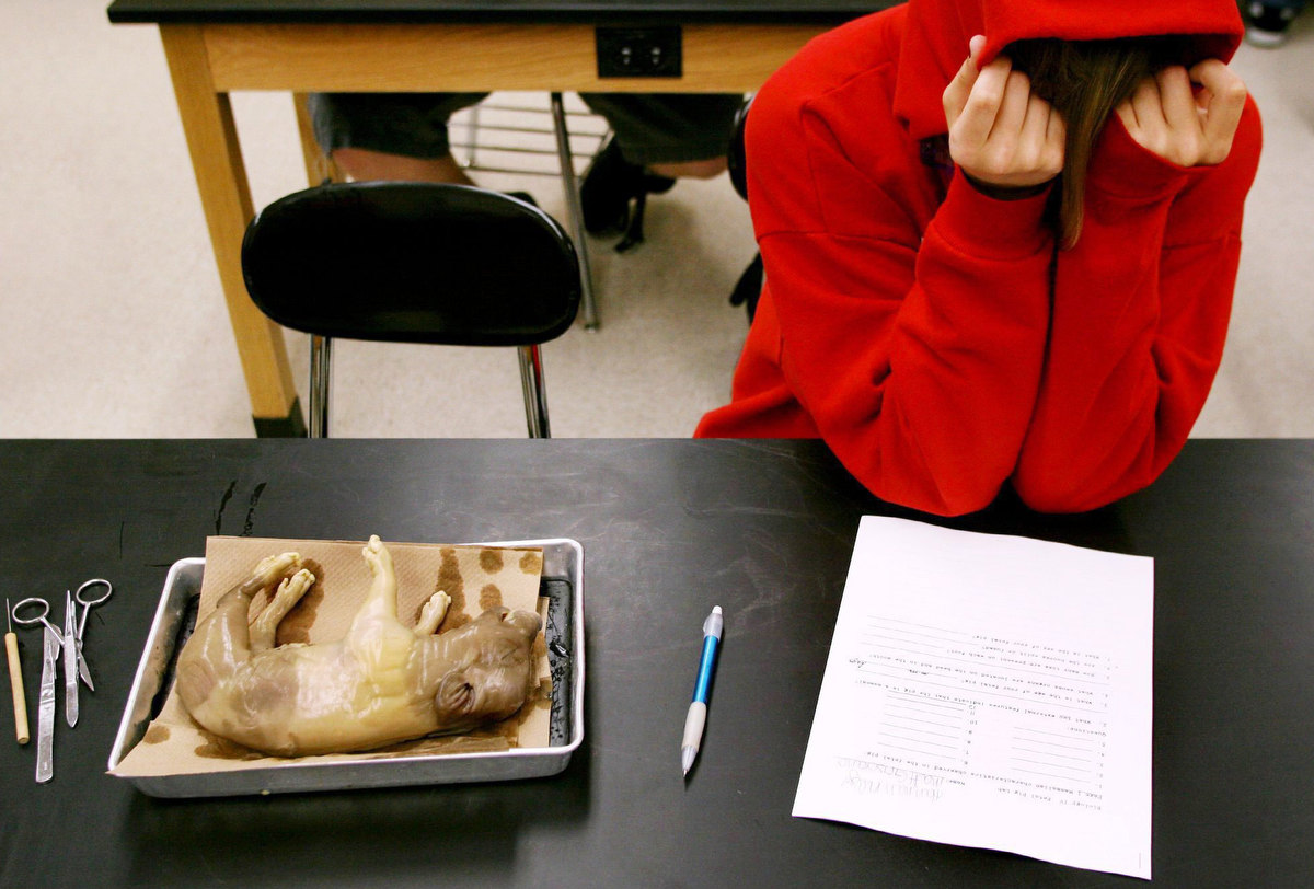 Click info button at top for project summary.Hannah Kelly, a junior at Collinsville High School, buries her head in her hands before attempting to dissect a fetal pig in biology class. Kelly eventually opted out of the assignment and was given a written assignment in lieu of the cutting.