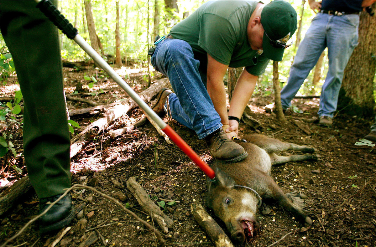 Brian Shelton, a resource technician with the Missouri Department of Conservation, cuts a wire snare from the midsection of a feral pig as he and other members of Missouri Department of Conservation work to eliminate the human-introduced pigs from the area.