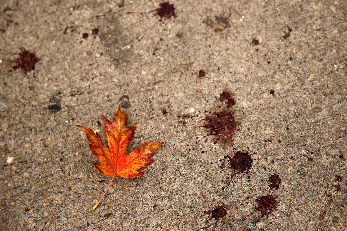 A freshly fallen leaf lays on the sidewalk near drops of blood from a previous night's fatal shooting in the Logan Square neighborhood of Chicago.