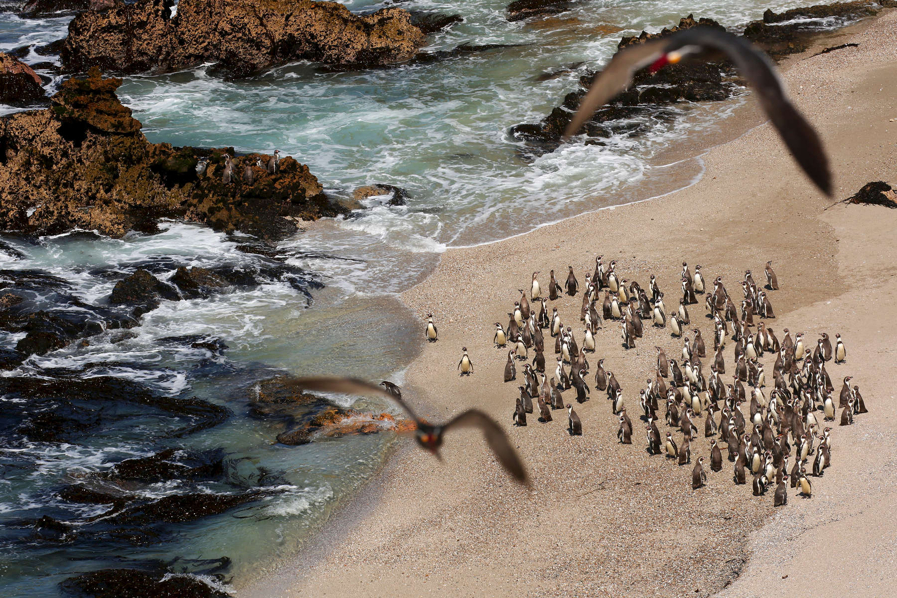 A group of Humboldt penguins stand on the beach together at the Punta San Juan coastal reserve. About 6,000 of Peru's 25,000 endangered Humboldt penguins reside at Punta San Juan, where they have been known gather in clusters of 100 or more.