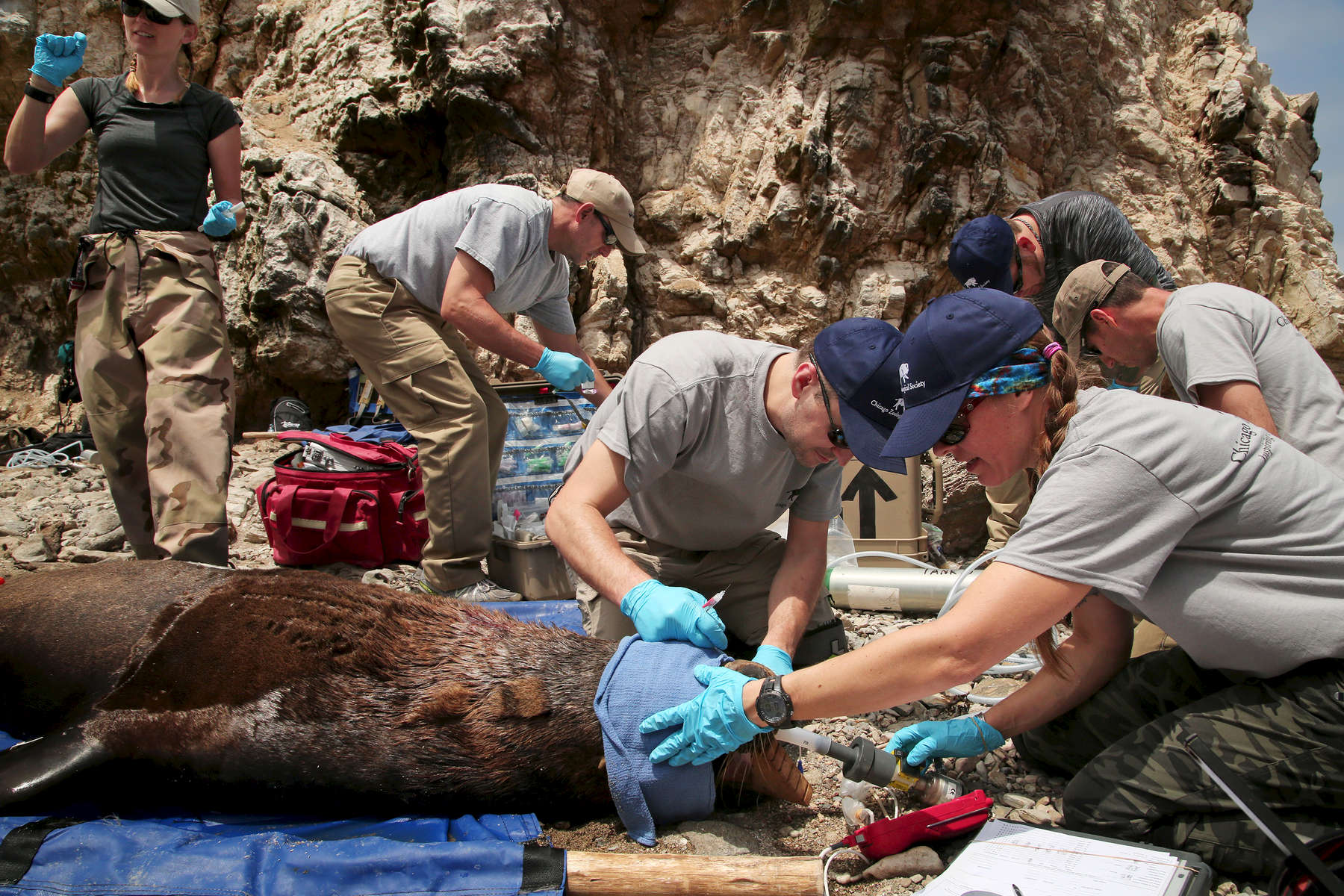 Dr. Adkesson and his team including MaryAnn Duda, a veterinary technician for the Brookfield Zoo, right, worked to collect body samples and measurements on a tranquilized South American sea lion. The team of eight people collected blood, urine, fur, and blubber samples for study and also checked the animal's eyes, heart rate, and weight before measuring and tagging its' fins.