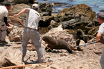A team of animal care professionals from several organizations including the Brookfield Zoo and St. Louis Zoo use wooden poles to fend off an aggressive Peruvian fur seal as they work to sedate others.