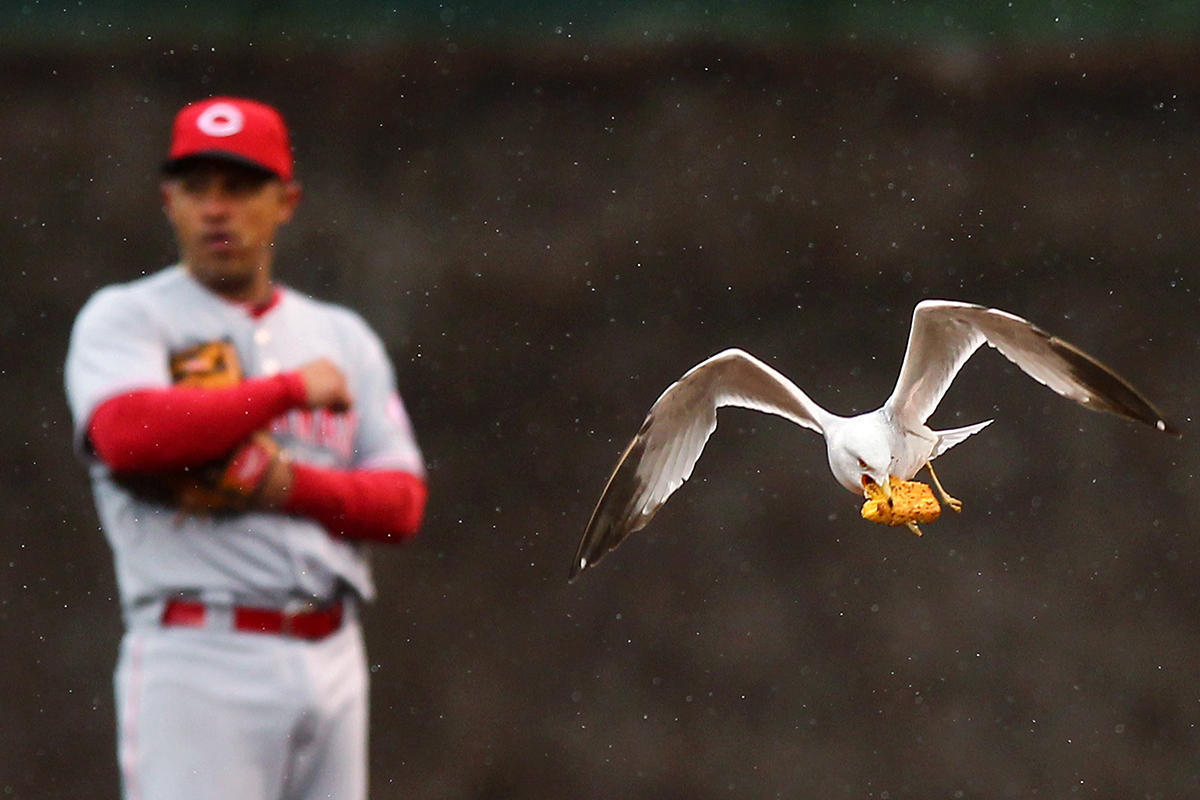 A gull flies with a piece of food through the infield during a lull in play at a game between the Chicago Cubs and the Cincinnati Reds at Wrigley Field in Chicago.