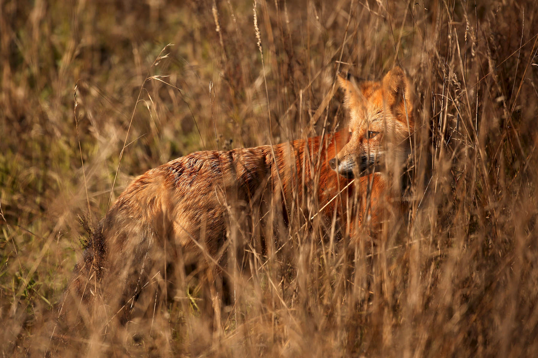 A fox peers out from the tall grass while hunting rodents at San Juan Island National Historical Park.