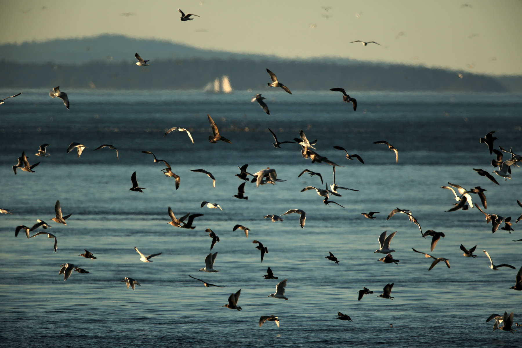 Shore birds flock together as they feed on a school of fish in the water at Lime Kiln Point State Park.