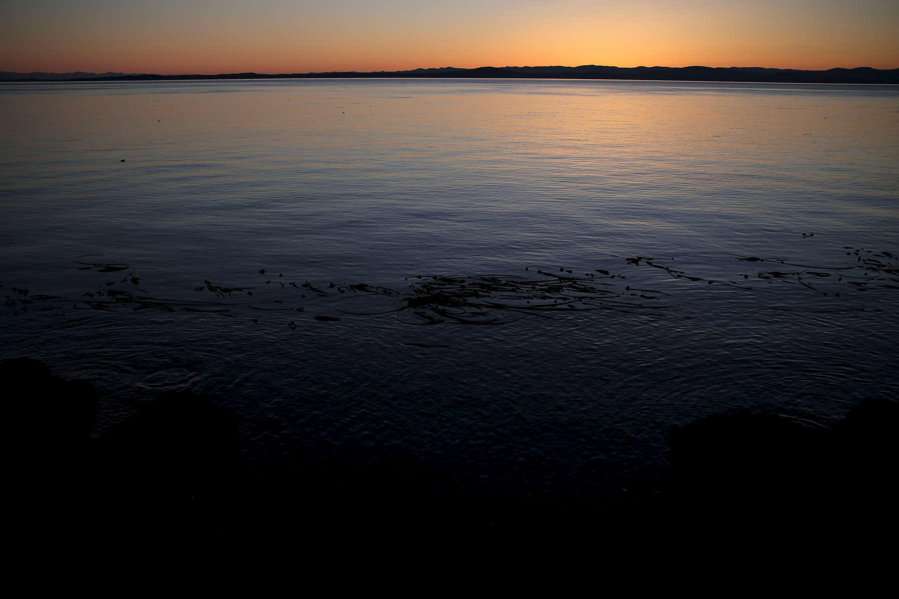 Kelp floats in the water as the setting sun disappears behind the horizon.