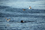 A sea lion swims with a fish as shore birds swarm around.