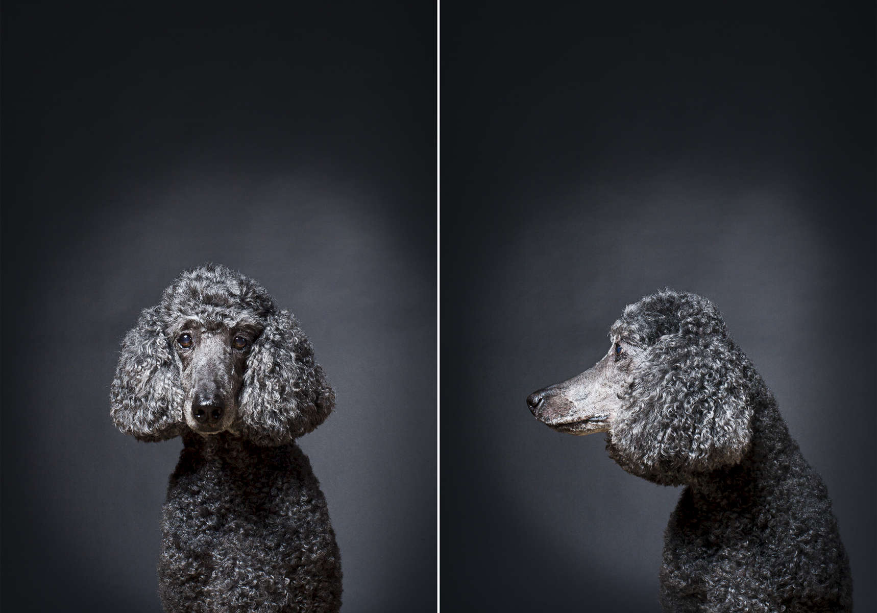 Gina is a thirteen-year-old retired therapy dog.  Photographed at Reciprocity Studio in Burlington by Vermont photographer Judd Lamphere