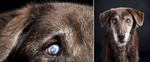 Kayla is a 17-year-old husky/retriever mix who lost her eysight to cateracts.  Photographed at Reciprocity Studio in Burlington by Vermont photographer Judd Lamphere