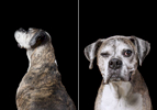 Lulu, an 11-year-old Boxer.  Photographed at Reciprocity Studio in Burlington by Vermont photographer Judd Lamphere