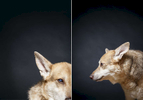 Cokie is a 11 year old Shepard, the runt of the litter.  Photographed at Reciprocity Studio in Burlington by Vermont photographer Judd Lamphere