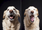 Molly, a 12 year-old Golden Labrador. Photographed at Reciprocity Studio in Burlington by Vermont photographer Judd Lamphere
