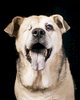 Ollie, a 13 year old mutt.  Photographed at Reciprocity Studio in Burlington by Vermont photographer Judd Lamphere