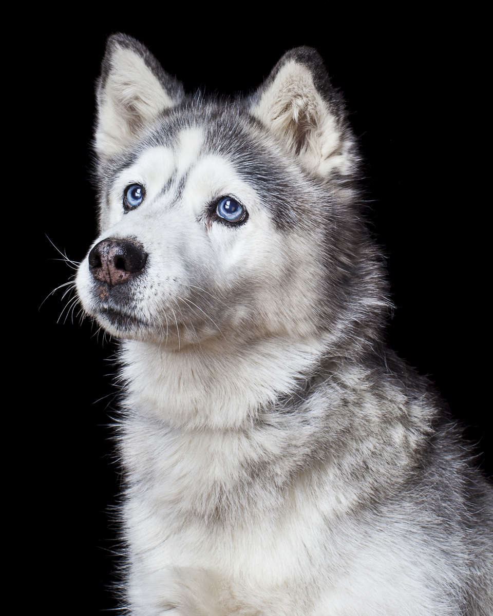 Spy, a 15-year-old Husky.  Photographed at Reciprocity Studio in Burlington by Vermont photographer Judd Lamphere