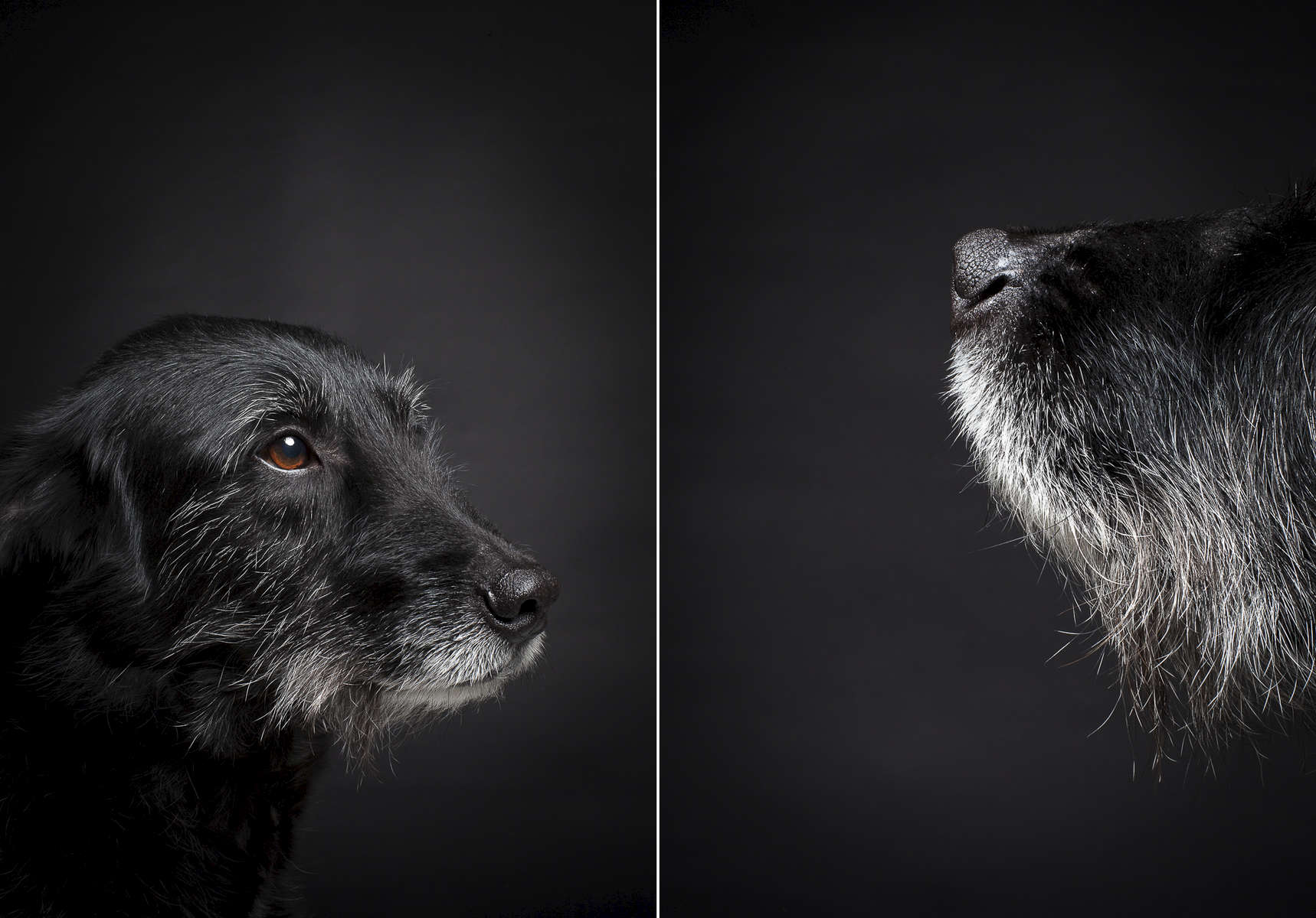 Jackson, an 11-year old mutt.  Photographed at Reciprocity Studio in Burlington by Vermont photographer Judd Lamphere