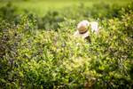 Carolyn Pillsbury of Williston picks blueberries at Isham Family Farm, a diversified farm in Williston, Vermont, on Tuesday, August 9, 2016.