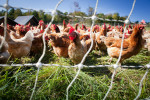 Free-range chickens at Jericho Settlers Farm in Jericho, Vermont.