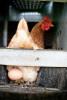 A free-range chicken lays an egg at Jericho Settlers Farm in Jericho Vermont.
