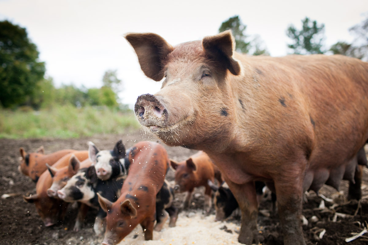 A sow munches at mealtime, as her piglets look on. All of Jericho Settlers' pigs are pasture-raised and the farm offers a number of meat shares for CSA members.