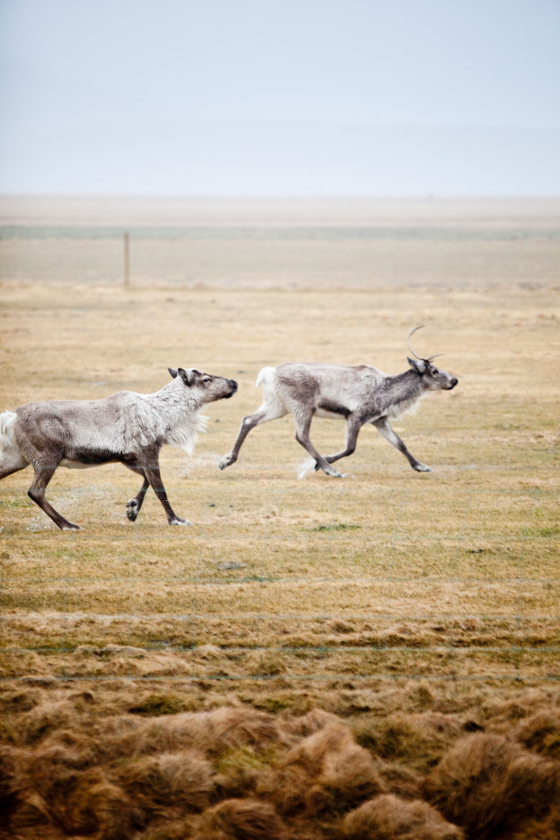Reindeer, Iceland