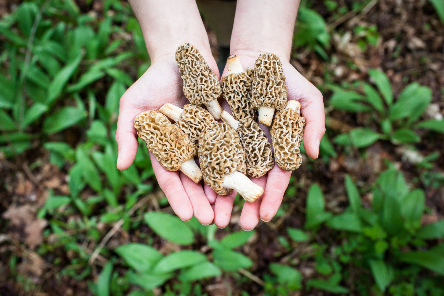 Hands holding morel mushrooms during a foraging session in the woods of Vermont.