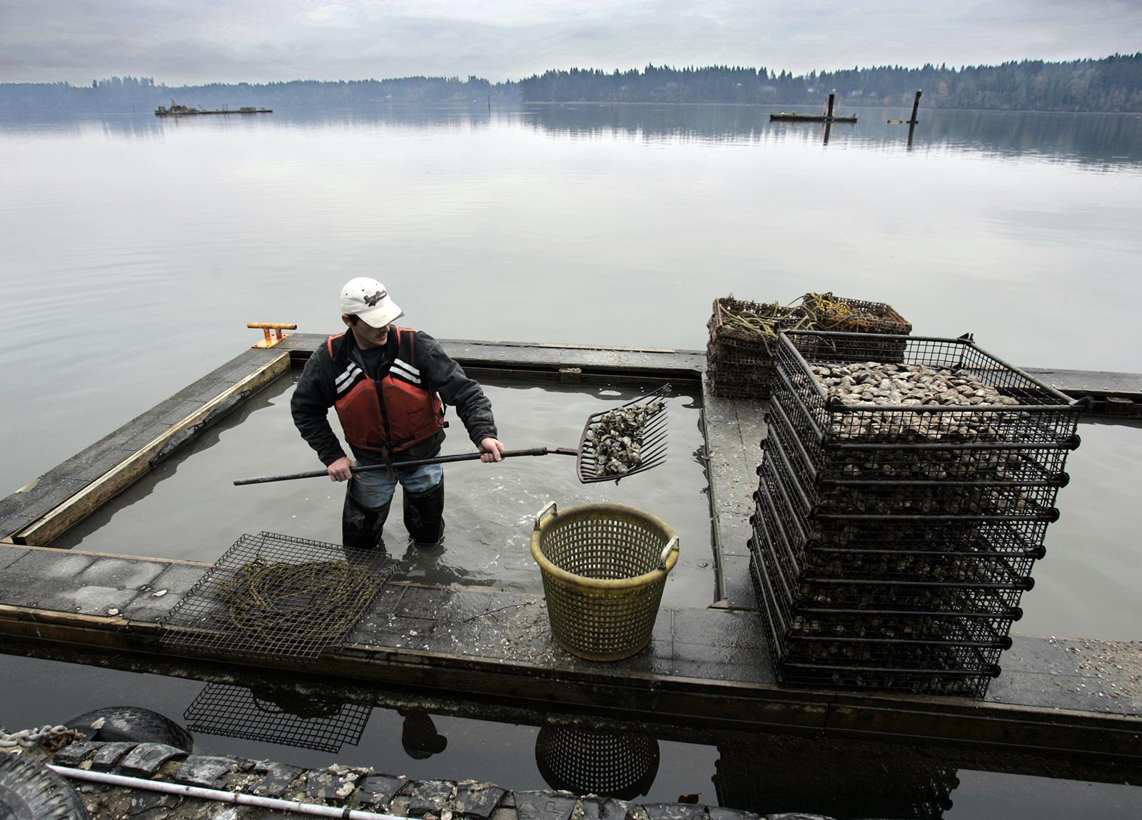 Shoveling oysters, Shelton, WA.