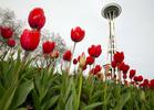 Seattle Center tulips