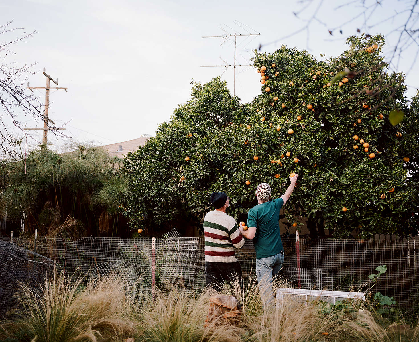 Ralph Thurlow, left, and David Spiher pick oranges in their back yard in Hayward, Calif. on December 4, 2016. The couple has been facing Ralph's health challenges around HIV-Associated Neurocognitive Disorder. The couple was part of the Chronicle's first feature film called Last Men Standing about long-term HIV survivors.