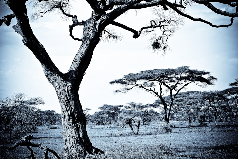 Baobab trees in the Serengeti.