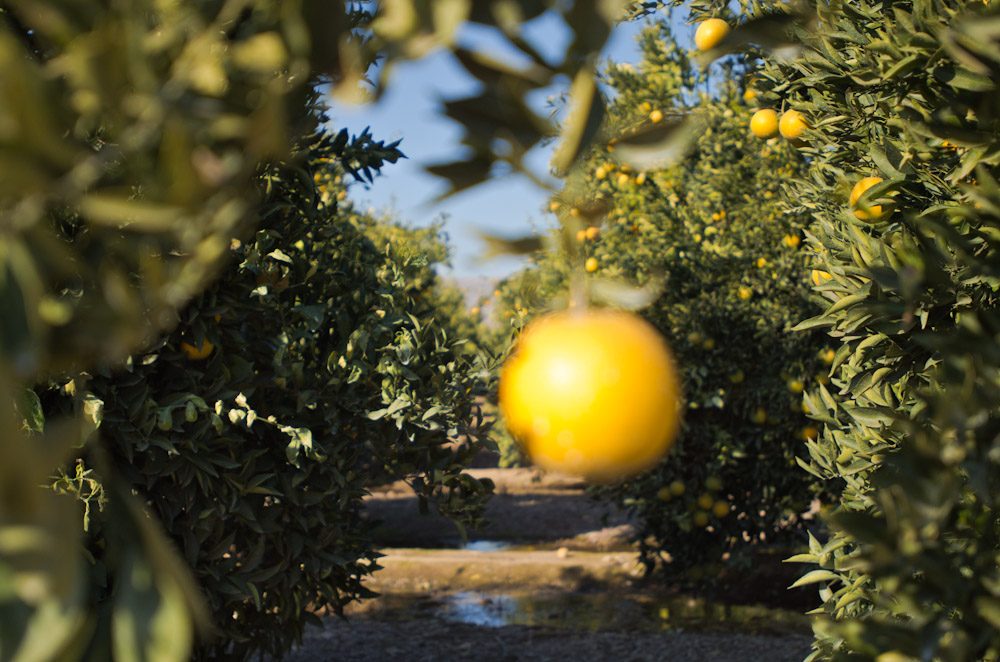 A typical orange grove in the Central Valley. Water is disbursed to trees from various pumps situated inside the grove via piping that runs along the ground. The water used to irrigate crops comes directly from the Sierra Nevada mountains, whereas groundwater which is contaminated by decades of fertilizer and pesticide use and nitrate runoff from dairies, is the source of local drinking water.