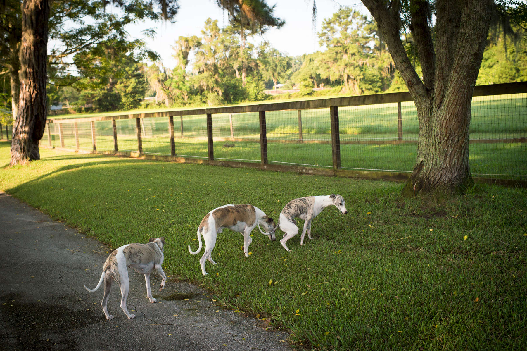 2016_whippets_026