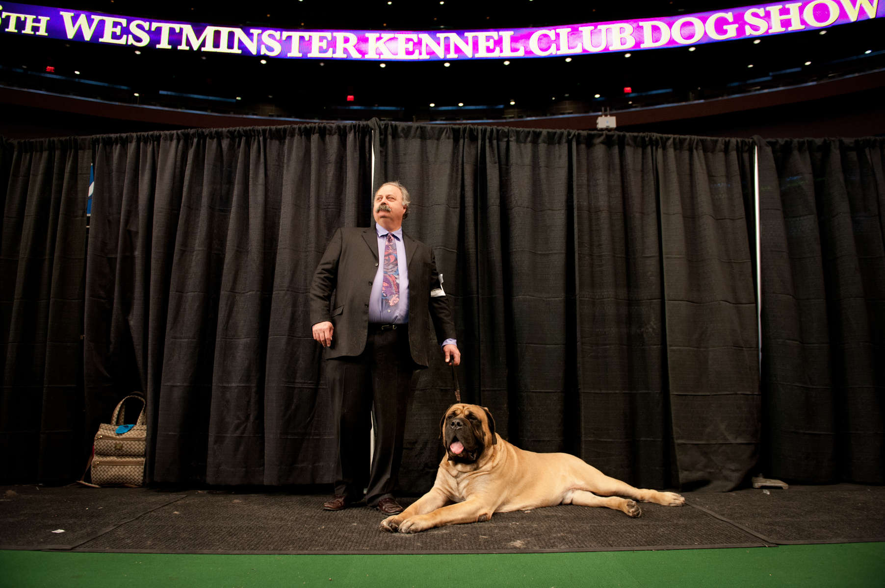 Handler Lonnie Schwab stands in Madison Square Garden at the 136th Westminster Kennel Club Dog Show in Manhattan with Baron, the five-year old English Mastiff, weighing in at 220 pounds. (Feb 14, 2012) Photo by Nancy Borowick