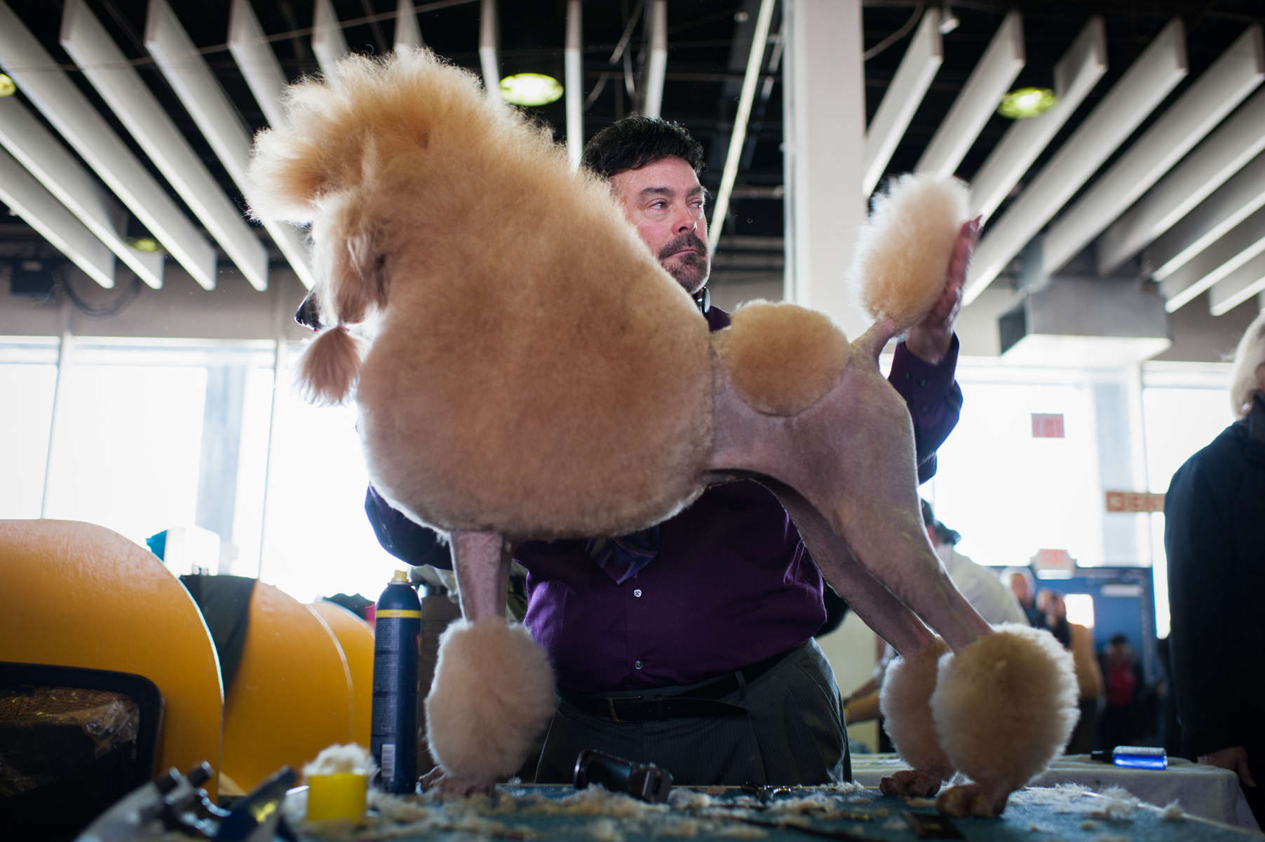 Bebe, an Apricot Standard Poodle, 3, came in from Pittsburg for the 138th Westminster Kennel Club Dog Show February 10, 2014 in Manhattan.By Nancy Borowick