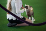 A Chinese Crested and its handler show off their blonde locks at the 138th Westminster Kennel Club Dog Show February 10, 2014 in Manhattan. By Nancy Borowick
