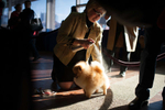 Charlie, 1, a Pomeranian from NJ, gets touched up ring side before competing in the 138th Westminster Kennel Club Dog Show February 10, 2014 in Manhattan.By Nancy Borowick